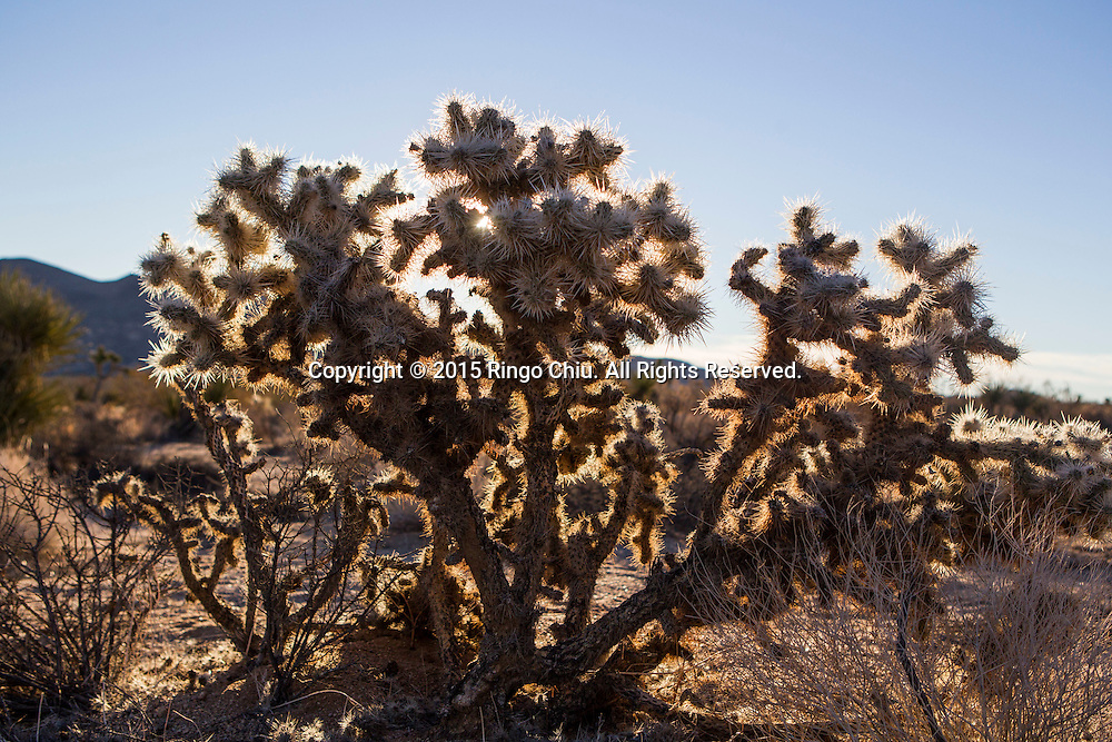 A Teddy Bear Cholla cactus is seen at Joshua Tree National Park in Twentynine Palms, California, January 25, 2015 (Photo by Ringo Chiu/PHOTOFORMULA.com)