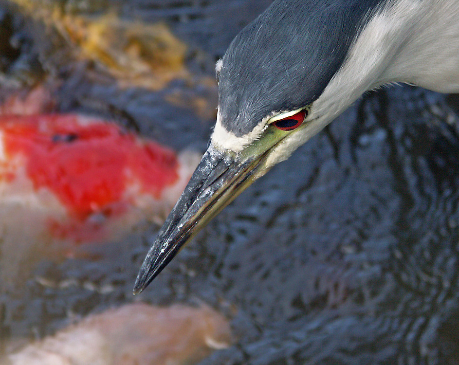 A hungry night heron looking for a fish small enough to eat at the pond at the Japanese Gardens.