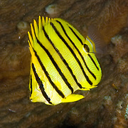 Eight Banded Butterflyfish inhabit reefs. Picture taken West Papua; Raja Ampat, Indonesia.