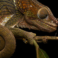 A sleeping Short-horned Chameleon (Calumma brevicorne) wakes too slowly to react in time when an unaware spider clambers over its face. Andasibe, Madagascar.