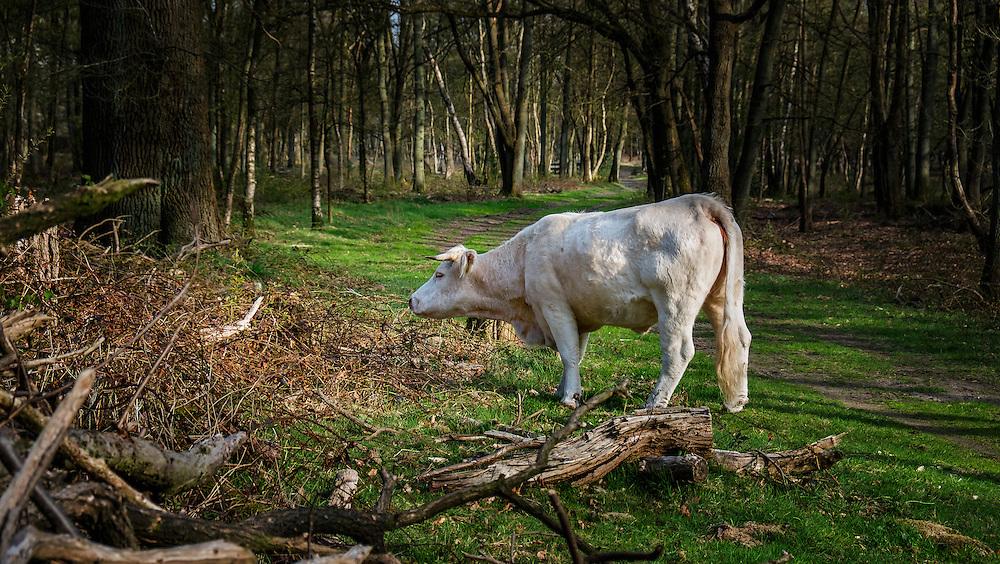Nederland, Hilversum, 5 april 2013<br /> <br /> Koe in natuurgebied.<br />  Foto(c): Michiel Wijnbergh