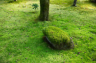 A close-up of a moss covered rock surrounded by a carpet of lush green moss in the Saiho-ji Garden (Temple of Moss) Kyoto, Japan
