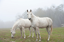 Two white horses in a pasture in Aiken, South Carolina
