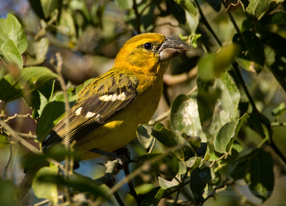 Mexican Yellow Grosbeak, (Yellow Grosbeak), Pheucticus chrysopeplus, Puerto Vallarta, Mexico, by Owen Deutsch