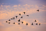 A flock of mallard ducks in flight appear in silhouette against the colorful red and pink clouds over Puget Sound at sunset near Edmonds, Washington.