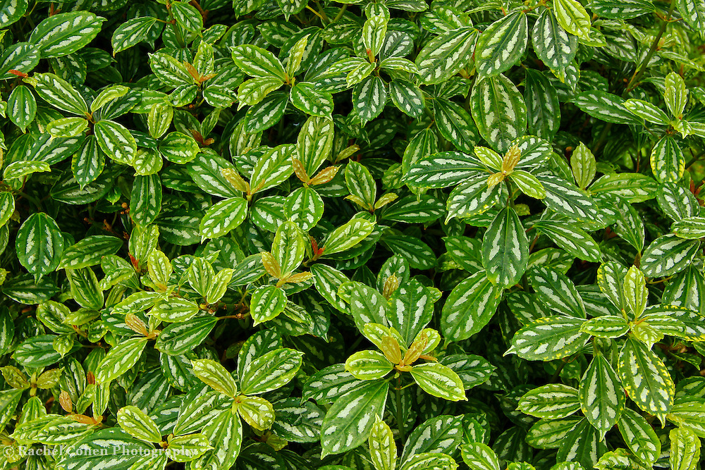 &quot;Fine Greenery&quot;<br /> <br /> Enjoy the beauty of lovely green and white variegated leaves in this wonderful botanical image!!<br /> <br /> Nature of this World by Rachel Cohen