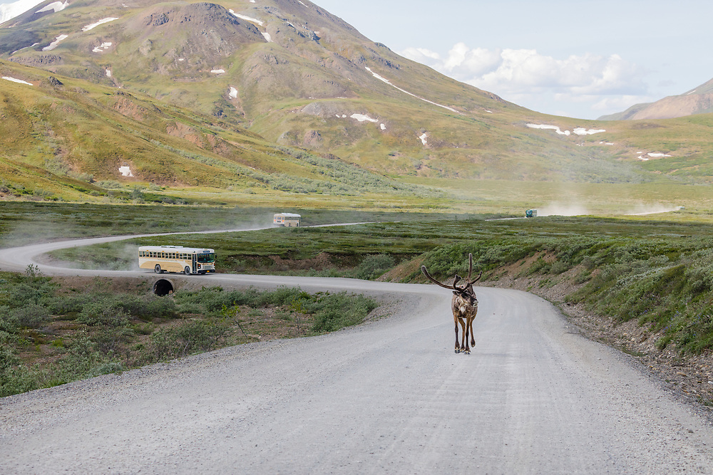 Caribou (Rangifer tarandus) walks towards Highway Pass on the Denali Park Road in Denali National Park in Interior Alaska. Summer. Morning.