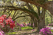 Centuries old Live Oak trees covered with spanish moss surrounded by blooming azaleas at Magnolia Plantation April 10, 2014 in Charleston, SC.