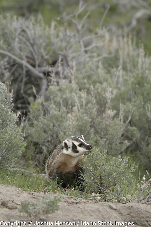 WYOMING. Yellowstone National Park. American Badger (Taxidea taxus).