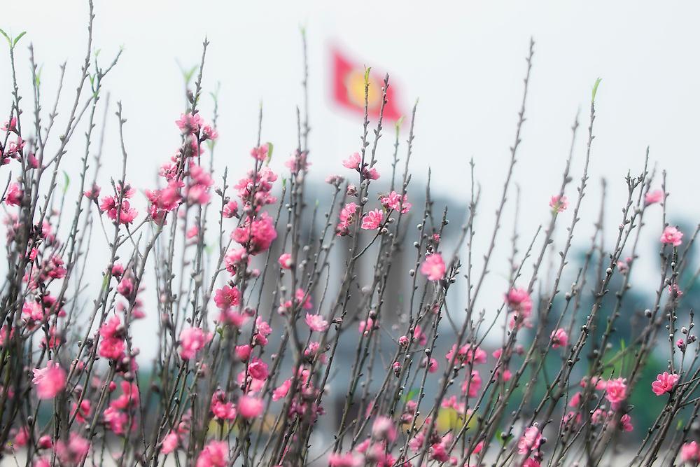 Pink peach blossoms branches, Hanoi, Vietnam.