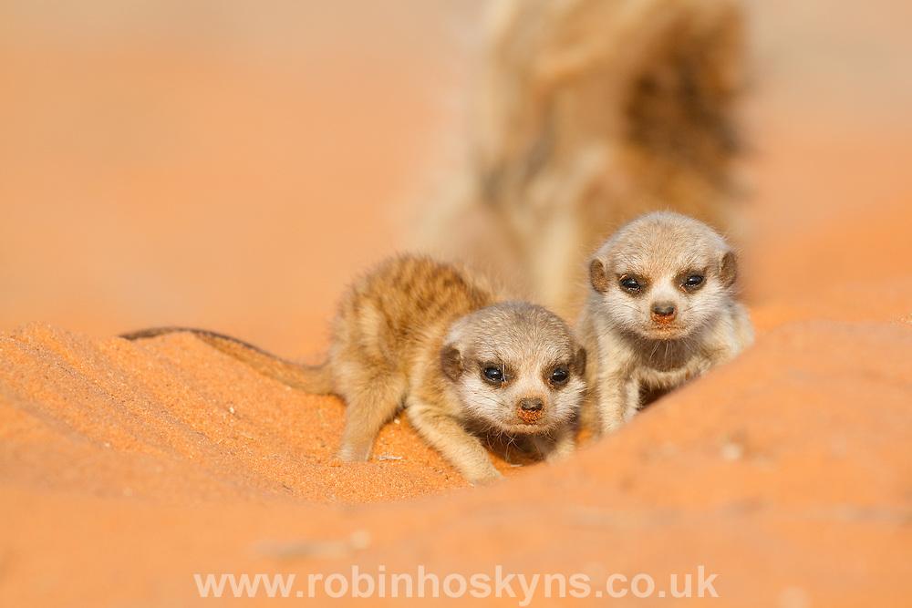 Meerkat pups with a babysitter.