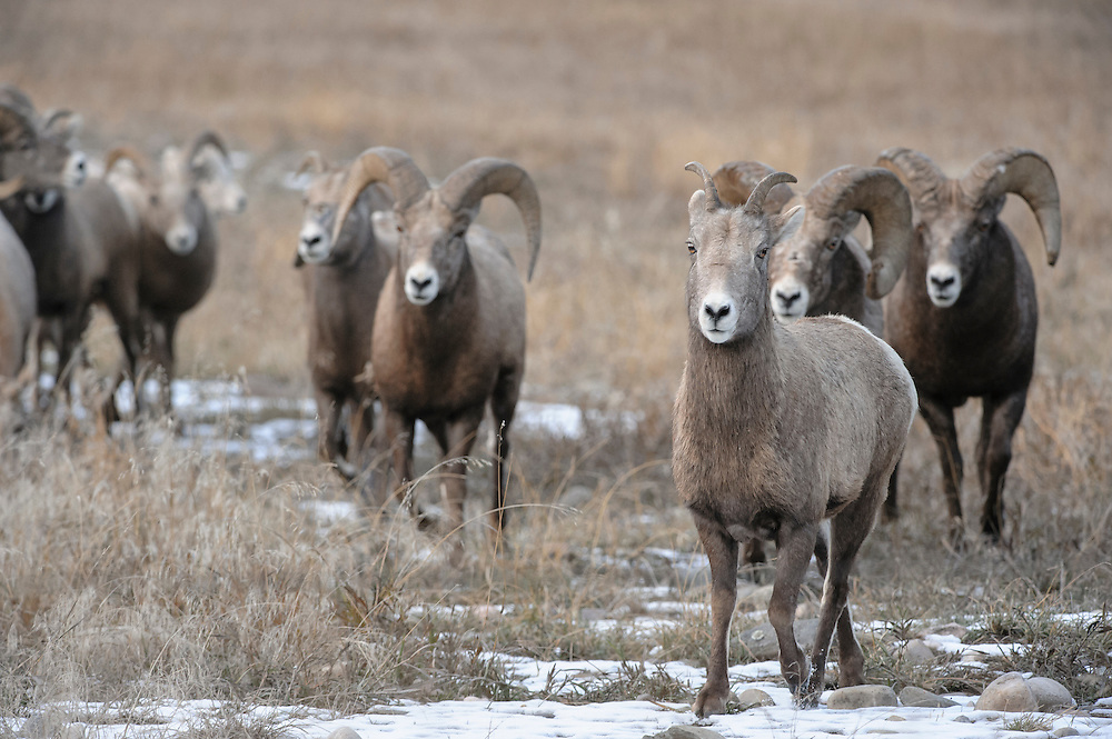 A Bighorn ewe (Ovis canadensis) is chased by rams during the Autumn mating rut, Western Montana