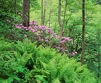 Georgia, Borjomi Kharagauli National Park, Georgia, flowering Rhododendron, old growth forest (Rhododendron sp.)
