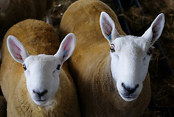 © Licensed to London News Pictures.16/07/15<br /> Harrogate, UK. <br /> <br /> Sheep stand in the sheep shed waiting to be fed on the final day of the Great Yorkshire Show.  <br /> <br /> England's premier agricultural show has seen three days of showcasing the best in British farming and celebrating the countryside.<br /> <br /> The event which attracts over 130,000 visitors each year displays the cream of the country's livestock and offers numerous displays and events giving the chance for visitors to see many different countryside activities.<br /> <br /> Photo credit : Ian Forsyth/LNP