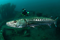 Great barracuda with a diver on the Liberty Wreck at Tulamben, Bali, Indonesia. Tulamben is located on Bali's NE coast and has become very popular with divers and photographers.  The area is famous for the wreck of the USAT Liberty Glo, a WWII era ship that lies just off the beach in Tulamben village.  The areas is also very well known for its high marine biodiversity. Bali is a very popular holiday destination for divers and offers a wide variety of different types of diving, from reefs and wrecks to mucks sites such as Puri Jati and Gilimanuk.