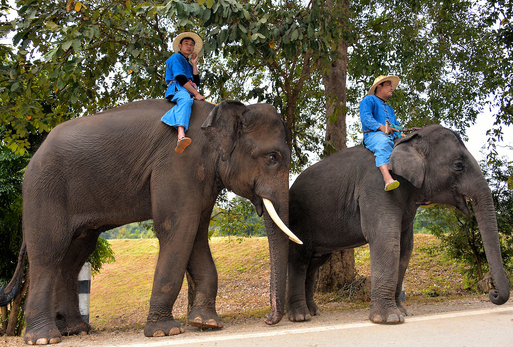 Male and Female Asian Elephants Walking in Hang Chat, Thailand<br /> This profile of a male and female Asian elephant walking along a road provides a good look at their size difference.  The shoulder height of a bull ranges from 6.5 to 11.5 feet and they weight from 4,000 to 11,000 pounds.  The female Indian elephant is considerably smaller and has no tusk or a very short one.