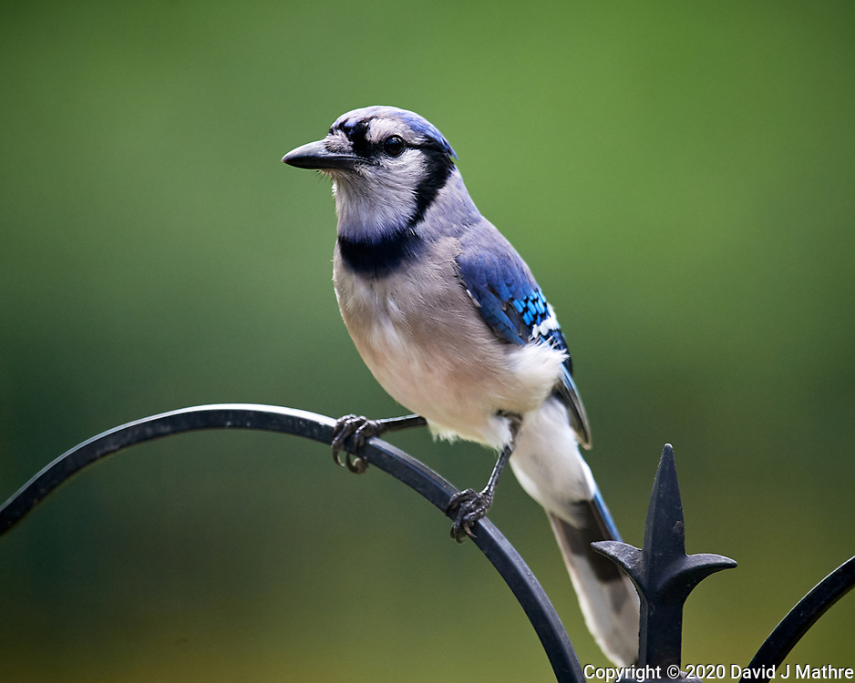 Blue Jay. Image taken with a Nikon D5 camera and 600 mm f/4 VR lens (ISO 1600, 600 mm, f/5.6, 1/1000 sec)