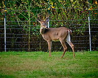 Buck by the back wildflower meadow. Image taken with a Fuji X-T3 camera and 200 mm f/2 OIS lens.