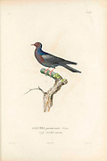 Birds of Cube 1838 scaly-naped pigeon (Patagioenas squamosa [Here as COLUMBA portoricensis]), also known as the red-necked pigeon, is a bird belonging to the family Columbidae. The species occurs throughout the Caribbean. From the book Histoire physique, politique et naturelle de l'ile de Cuba [Physical, political and natural history of the island of Cuba] by  Sagra, Ramón de la, 1798-1871; Orbigny, Alcide Dessalines d', 1802-1857 Publication date 1838 Publisher Paris : A. Bertrand