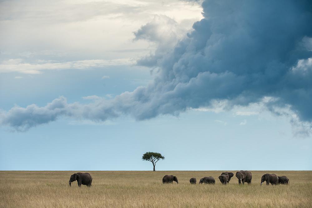 Herd of Elephants (Loxodonta africana) walking accorss the savanna