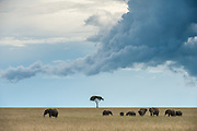 Herd of Elephants (Loxodonta africana) walking accorss the savanna