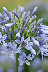 Bee on Agapanthus 'Luly'. African lily