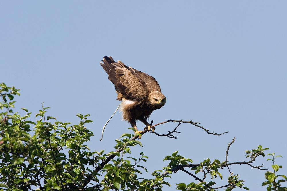 Schreiadler, Aquila pomarina, Ost-Slowakei, Europa / Lesser Spotted Eagle, Aquila pomarina, East Slovakia, Europe