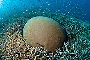 Unidentified Brain Coral in Komodo National Park, Indonesia. Competition for living space among coral species is intense in a coral reef.
