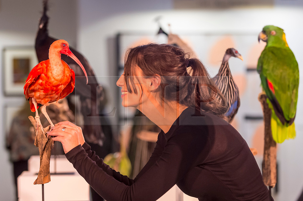 """© Licensed to London News Pictures. 05/10/2018. LONDON, UK. Elle Kaye, an artist who shows taxidermy as art, inspects one of her works """"Scarlet Ibis"""", during Not 30%, a sub-exhibition presenting works by female artists. Opening day of The Other Art Fair, presented by Saatchi Art, which runs until 7 October in Bloomsbury.  The fair, which coincides with Frieze Week, is a collection of artworks by independent and emerging artists handpicked by a committee of art world experts.  Visitors and art buyers have the opportunity to meet the artists presenting their work at the fair. Photo credit: Stephen Chung/LNP"""