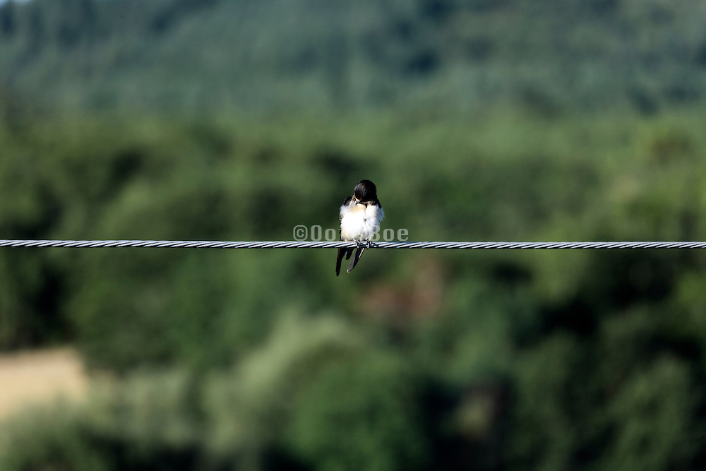young barn swallow grooming it self while sitting on an electrical wire