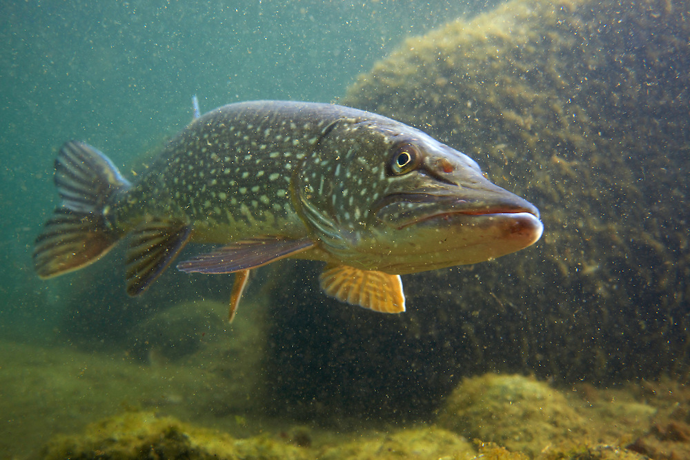 Pike (Esox lucius), in fishpond, Switzerland<br /> Hecht (Esox lucius), in Fischteich, Schweiz<br /> Brochet (Esox lucius), en &eacute;tang de poisson, Suisse<br /> 13-03-2009