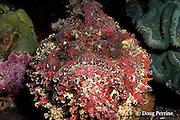 reef stonefish, Synanceia verrucosa, Bali, Indonesia
