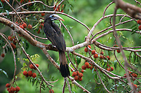 Bushy-crested Hornbill (Anorrhinus galeritus) perch on a branch of a fruiting Aglaia tree.  Gunung Palung National Park, Borneo, Indonesia