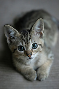 Adorable tabby kitten portrait.