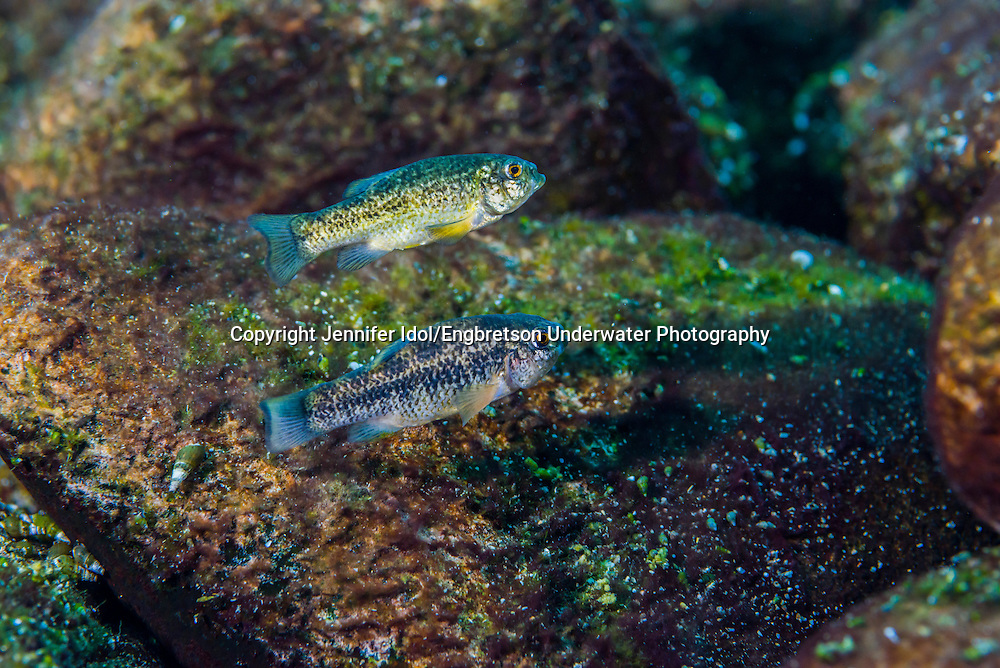 Comanche Springs Pupfish<br />