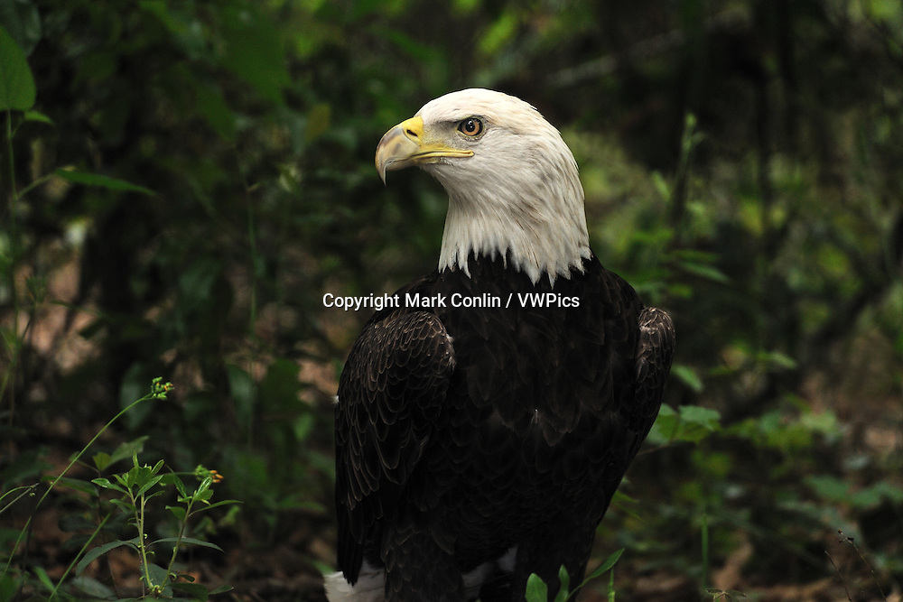 Bald Eagle, Haliaeetus leucocephalus, Florida, captive