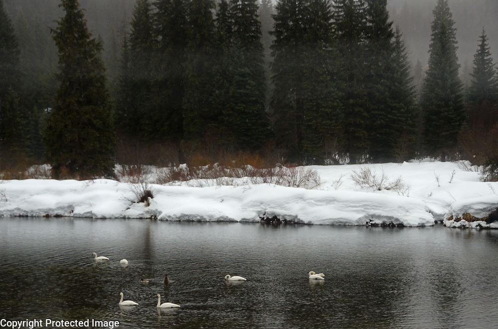 Five trumpeter swans, one tundra swan and two Canada geese on the Yaak River during a rainstorm in late winter. Yaak Valley in the Purcell Mountains, northwest Montana.