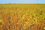 Soybean crop<br /> Griffin<br /> Saskatchewan<br /> Canada