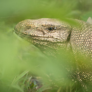 Clouded Monitor (Varanus nebulosus) basking in Kaeng Krachan national park, Thailand