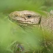 Herpetofauna of Thailand