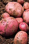 red potatoes harvested with dirt