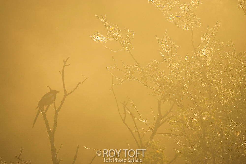 Magpie in mist, Katmai National Park, Alaska