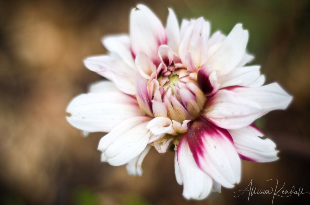 Vivid magenta pink flames of color paint the white petals of a blooming dahlia flower