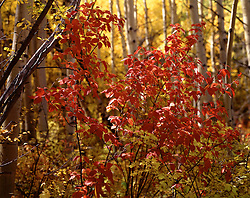 Horizontal image of red brush seen against a background of yellow aspen in fall, Bachelor Gulch, Colorado