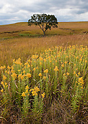 Goldenrod and Indian grass grow on the Tall Grass Prairie Preserve in Kansas