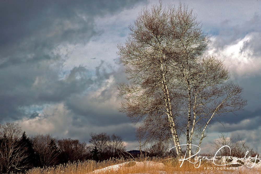 Roger Crowley / CrowleyPhotos.com..A small clump of White Birch trees sit in the first snow of winter a top a crop of rocks in the evening sky..