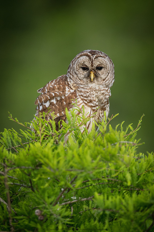 a barred owl perches atop of a young cypress tree with early spring growth