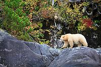 Kermode bear, BC, Canada