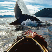 A humpback whale sounds dramatically and forcefully in front of the Nautiraid kayak of Duncan Murrell, Peril Strait, near Chatham Strait, Southeast Alaska, USA.<br /> <br /> This was one of the very rare occasions when a humpack whale ever showed any aggression towards me. I always tried to avoid obstructing the passage of whales but with so many encounters it was inevitable that sometimes I didn't have enough time to get out of their way, especially if they surfaced in front of me without any warning. Even then I was often amazed at how they would just roll beneath me like a gigantic ball caressing the soft hull of my kayak with barely a ripple. But on this occasion I encountered a slightly more irritable whale and as it was sounding (diving), instead of just lifting its flukes up before sliding gracefully out of view, it rolled its flukes sideways, creating a large wave that surged towards me, over the bow of my kayak and onto my lap. The icy water of Southeast Alaska was always cold enough to give me a sharp intake of breath, and some degree of punishment for not giving way to a much larger vessel fast enough!