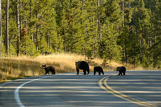 Grizzly Bear, (Ursus horribilis) A female and her cubs cross the road in Yellowstone National Park near Canyon.Fall.